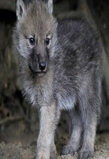 "Книга ""Волчонок. Ночная прогулка."" читать онлайн"